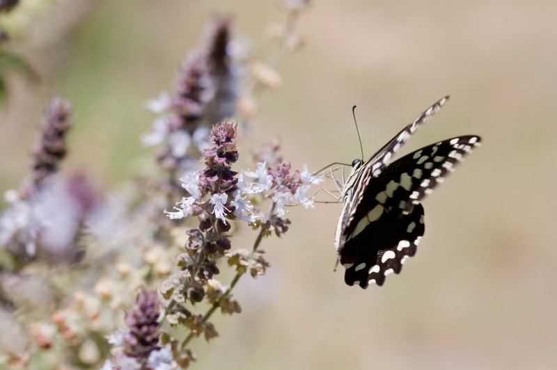 Black and white butterfly on flowering herb basil