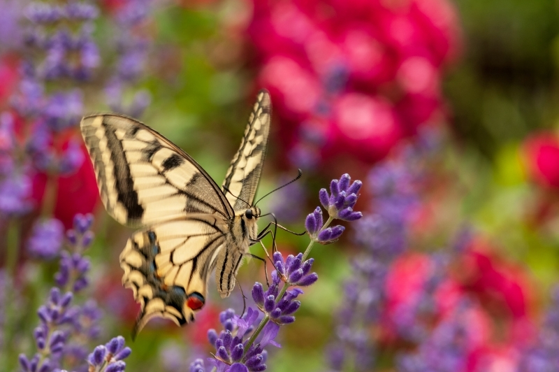 yellow butterfly perched on the herb lavender with red flowers in the background