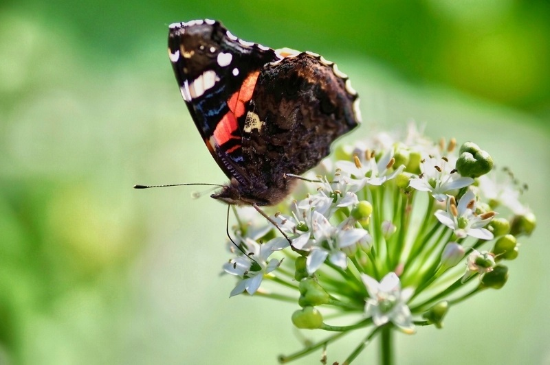 dark butterfly with red accents feeding on garlic chives