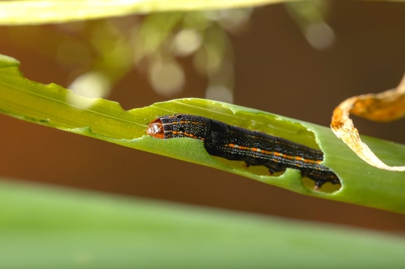 caterpillar eating stem of chive plant