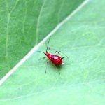 closeup of red aphid on leaf
