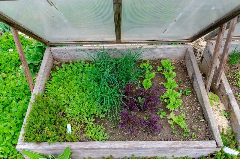 cold frame with lettuce and herbs growing inside
