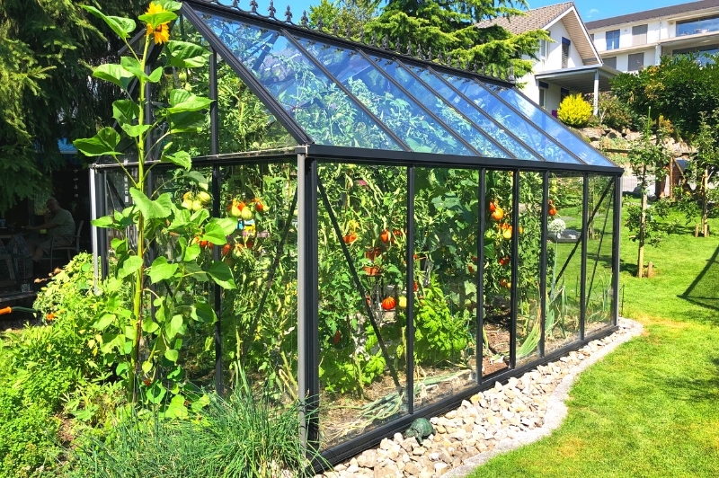 walk-in greenhouse with tomatoes growing in side