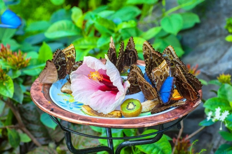 group of butterflies feeding on bananas and kiwi in a butterfly feeder