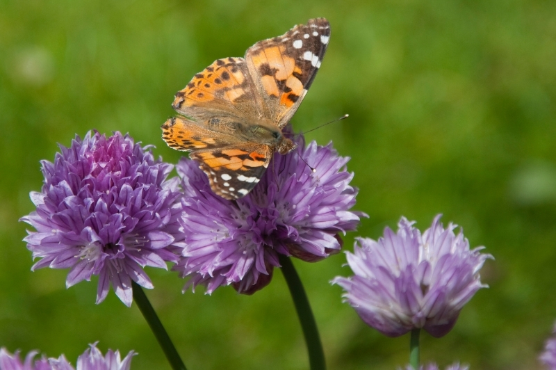 painted lady butterfly on blue chives growing in the herb garden